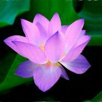 What is the meaning behind the Lotus Flower Symbol?